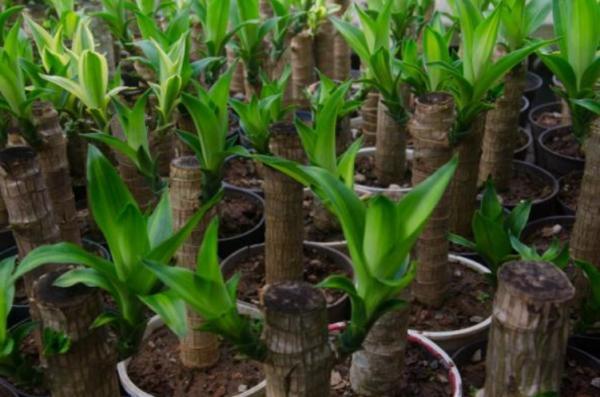Cómo podar un tronco de Brasil - Cómo cuidar los cortes del tronco de Brasil podado
