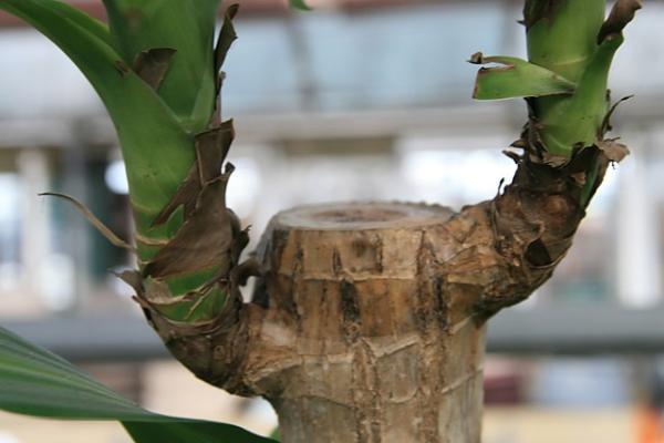 Cómo podar un tronco de Brasil - Cómo podar un tronco de Brasil paso a paso