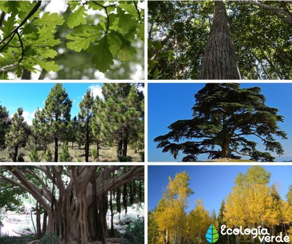 Plantas forestales: qué son, tipos y nombres - Tipos de plantas forestales