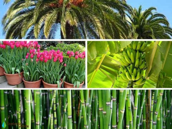 Plantas monocotiledóneas: qué son y ejemplos - Plantas monocotiledóneas: ejemplos
