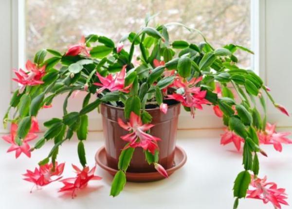 Tipos de plantas suculentas - Cactus de Navidad