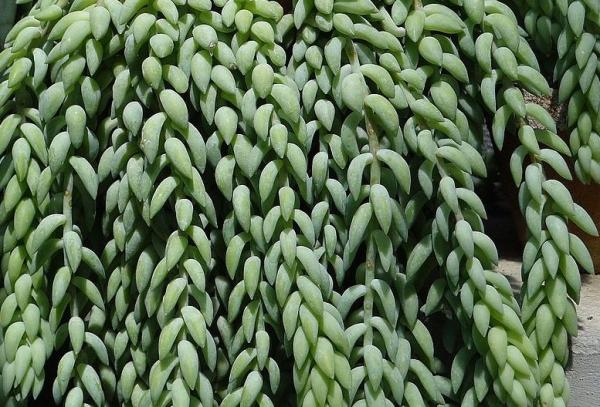 Tipos de plantas suculentas - Cola de burro