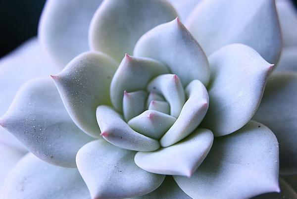 Tipos de plantas suculentas - Echeveria