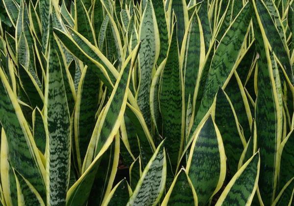 Tipos de plantas suculentas - Sansevieria o lengua de tigre