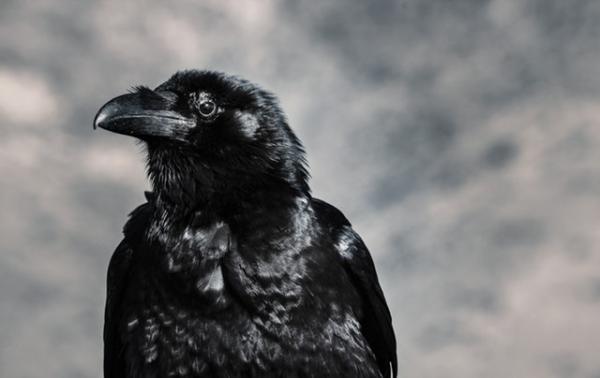 Los 10 animales más inteligentes del mundo - El cuervo