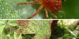 Cómo eliminar la araña roja