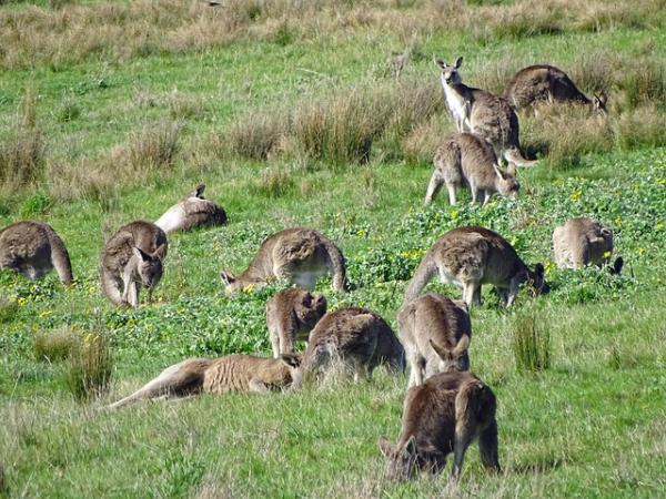 Canguro: dónde vive y qué come - Características del canguro: físicas y comportamentales