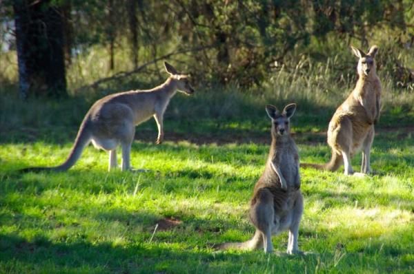 Canguro: dónde vive y qué come - Qué comen los canguros: la alimentación