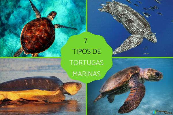 Tipos de tortugas marinas y sus características