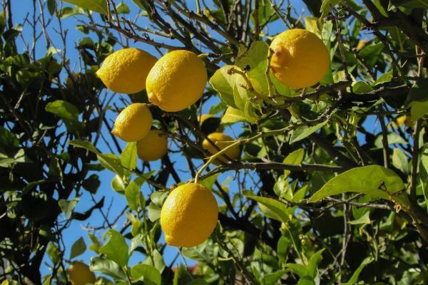 Podar un limonero: cómo y cuándo hacerlo - Cómo hacer esquejes de limonero y plantarlos - reproducción