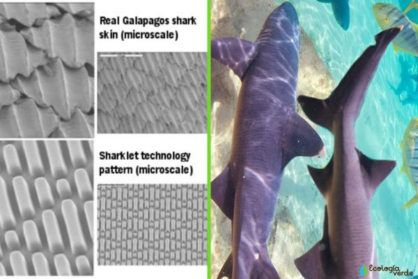 Biomímesis: qué es y ejemplos - El estrés de la piel del tiburón
