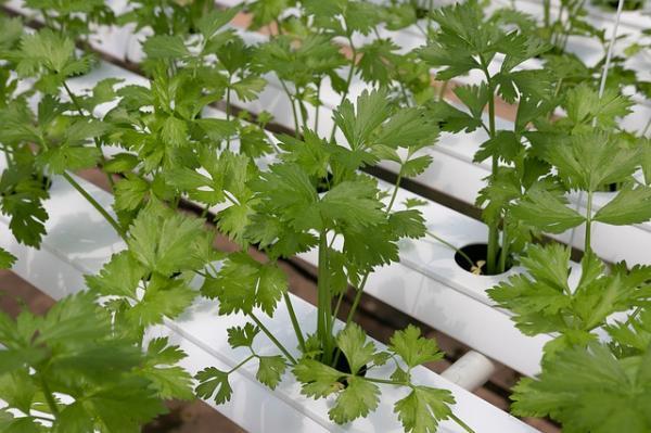Cómo sembrar cilantro y cultivarlo - Cómo sembrar cilantro paso a paso