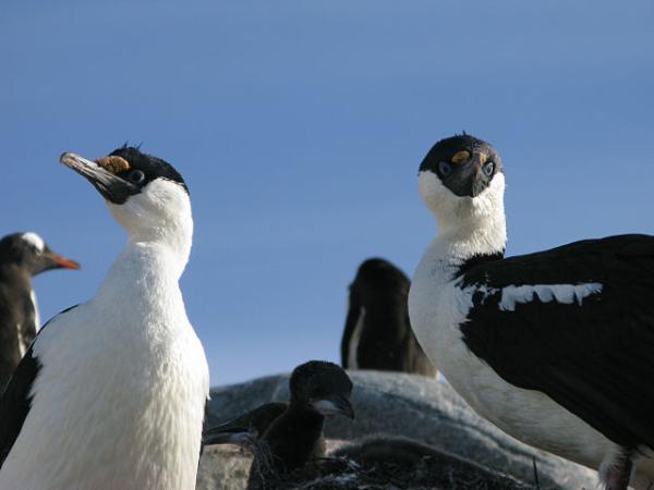 Animales de la Antártida - Cormorán antártico (Leucocarbo bransfieldensis)