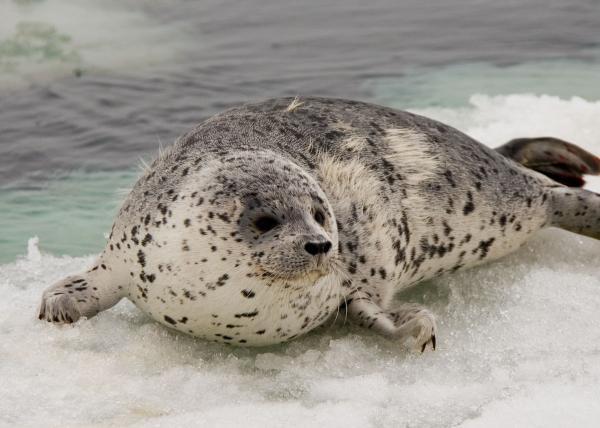 Animales de la Antártida - Foca antártica o foca de Weddell (Leptonychotes weddellii)