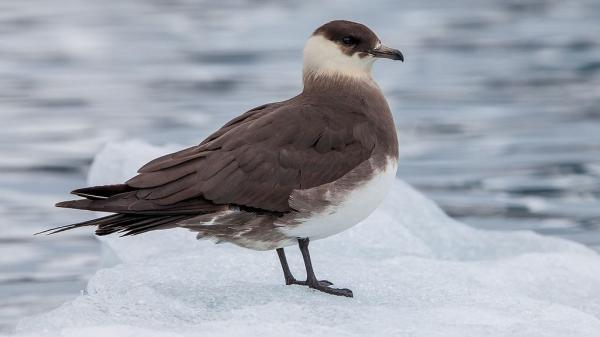 Animales de la Antártida - Págalo grande (Stercorarius skua)