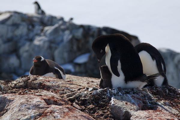 Animales de la Antártida - Pingüino de Adelia (Pygoscelis adeliae)