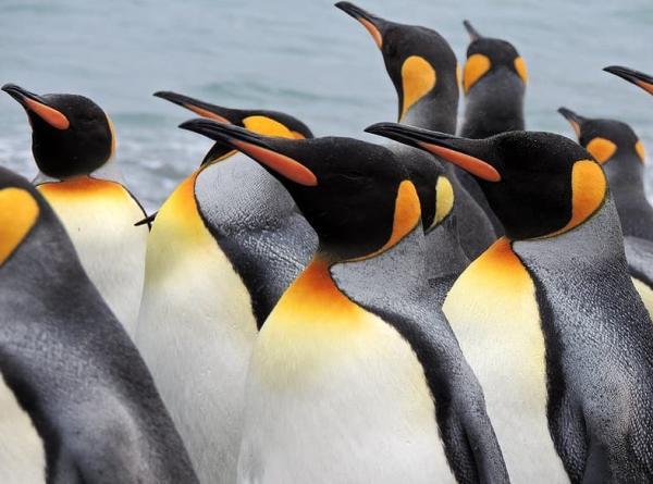 Animales de la Antártida - Pingüinos Rey (Aptenodytes patagonicus)
