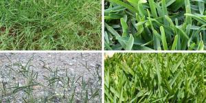 8 tipos de grama