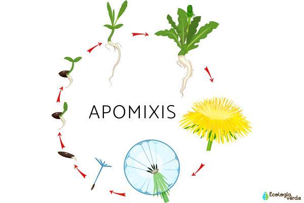 Apomixis: qué es, tipos y ejemplos - Qué es la apomixis