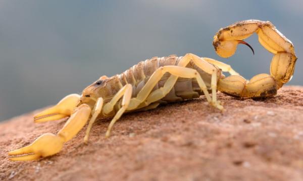 Tipos de escorpiones - Escorpión amarillo común