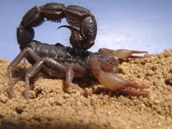 Tipos de escorpiones - Escorpión escupidor de cola gruesa