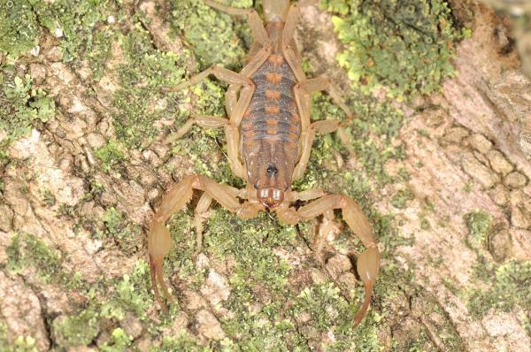 Tipos de escorpiones - Escorpión o alacrán de Morelos