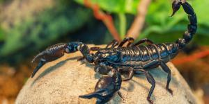 Tipos de escorpiones