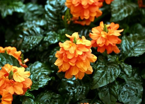 9 flores naranjas - Crossandra, una de las plantas con flores naranjas más bonita