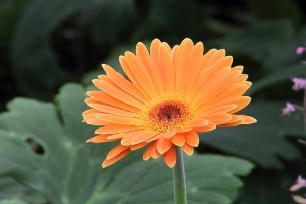 9 flores naranjas - Gerbera de flores naranjas