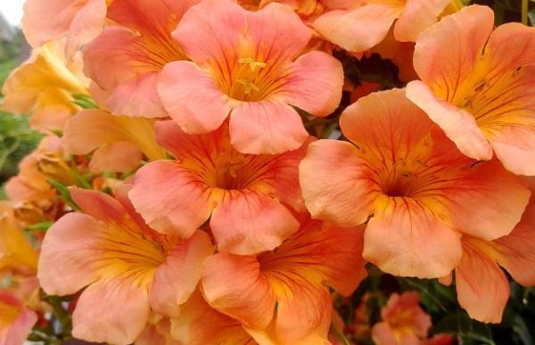 9 flores naranjas - Trompeta trepadora china, una planta con flores naranjas grandes