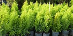Cultivo y cuidados del pino enano