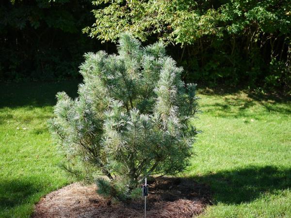 Cultivo y cuidados del pino enano - Iluminación para el pino enano