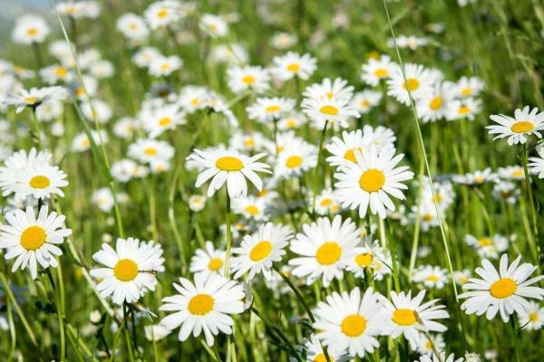 +15 plantas de otoño para el jardín - Margarita de los prados y Aster