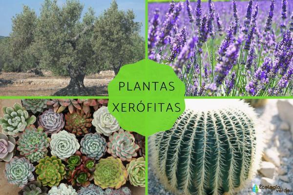Plantas xerófitas: qué son, características y ejemplos