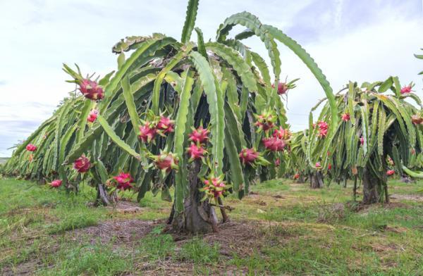 Pitaya: cultivo - Cuidados de la pitaya para su cultivo