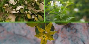 Hojas amarillas en el jazmín: causas y cómo curarlo
