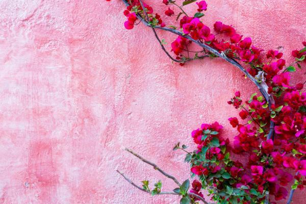 Plantas de exterior resistentes al frío y calor - Buganvilla o Bougainvillea sp