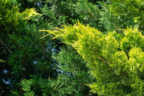 Plantas de exterior resistentes al frío y calor - Ciprés leylandi o Cupressocyparis leylandii