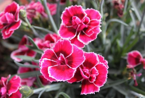 Plantas de exterior resistentes al frío y calor - Clavel o Dianthus caryophyllus