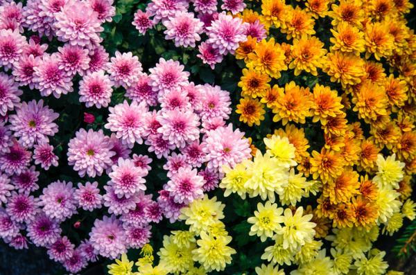 Plantas de exterior resistentes al frío y calor - Crisantemo o Chrysanthemum spp.