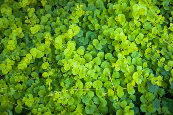 Plantas de exterior resistentes al frío y calor - Dichondra o Dichondra repens