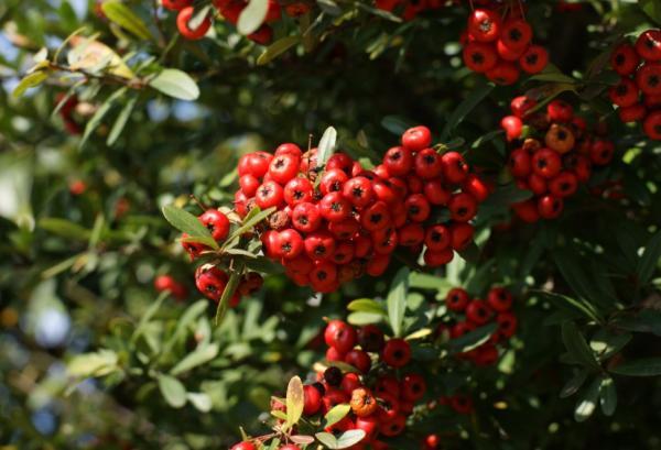 Plantas de exterior resistentes al frío y calor - Espino de fuego o Pyracantha coccinea