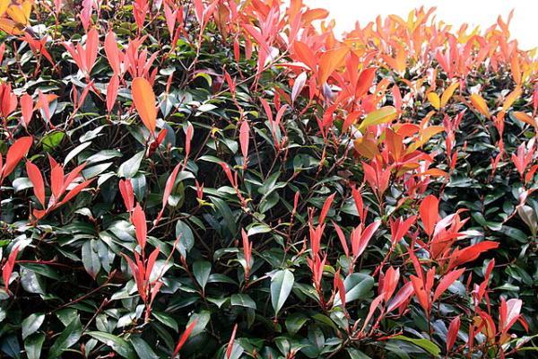 Plantas de exterior resistentes al frío y calor - Fotinia o Photinia x fraseri 'Red Robin'