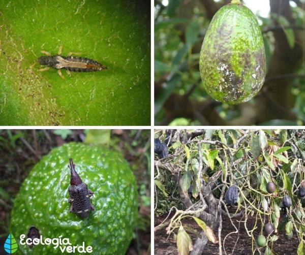 Plagas y enfermedades del aguacate