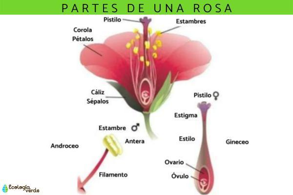 Partes de una rosa: nombres y funciones