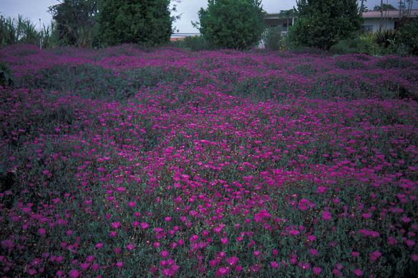 Plantas tapizantes resistentes al frío - Por qué elegir plantas tapizantes