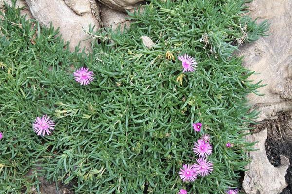 Plantas tapizantes resistentes al frío - Qué son las plantas tapizantes