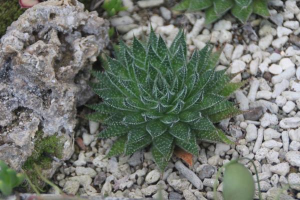 Tipos de aloe vera - Aloe aristata