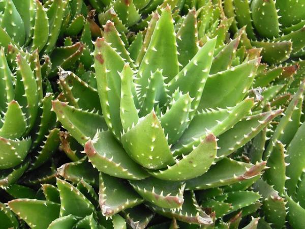 Tipos de aloe vera - Aloe brevifolia