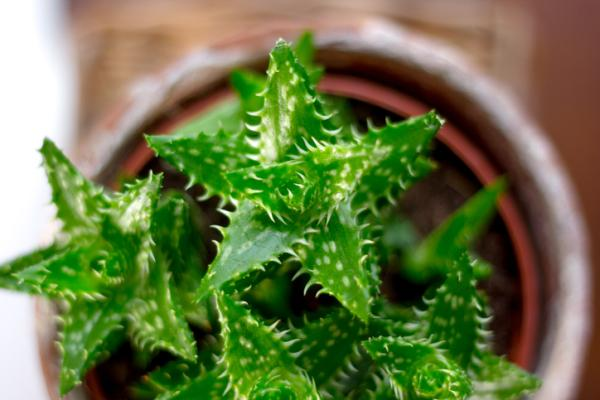 Tipos de aloe vera - Aloe juvenna